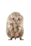 Portrait of a hedgehog standing on his hind legs Stock Image