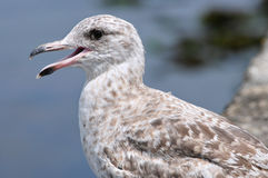 Portrait of Heering gull the open beak Royalty Free Stock Image