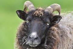 Portrait Heidschnucke sheep Royalty Free Stock Image