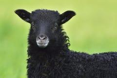 Portrait Heidschnucke sheep Royalty Free Stock Images
