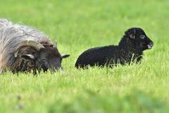 Portrait Heidschnucke sheep Royalty Free Stock Photography