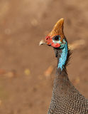 Portrait of the Helmeted Guineafowl Stock Photos