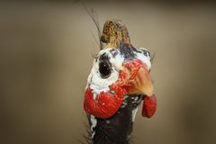 Portrait of helmeted guineafowl. Numida meleagris Royalty Free Stock Photo