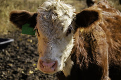 Portrait of a  Hereford Calf Stock Photography