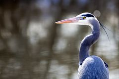 Portrait of a heron. Stock Image