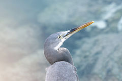 Portrait of a Heron on beautiful background Royalty Free Stock Photos