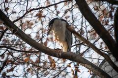 Portrait of heron standing on nude tree branch in winter Stock Photo