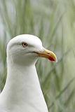 A portrait of a Herring Gull (Larus argentatus) Royalty Free Stock Photography
