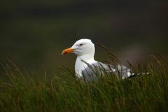 Portrait Herring gull, Larus argentatus, sitting in the green grass, Helgoland, Germany Royalty Free Stock Image
