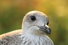 Portrait of herring gull at sunset Stock Photo