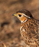 Portrait of Heuglin's Courser Stock Photo