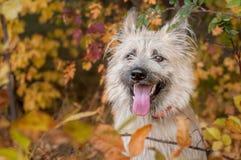 Portrait heureux de portrait d'un chien heureux dans des feuilles jaunes photographie stock libre de droits