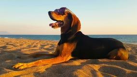 Portrait heureux drôle d'un chien aux lunettes de soleil de port de plage clips vidéos