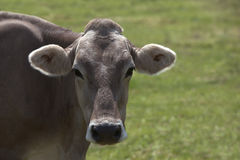 Portrait of a high yielding cow Stock Photo
