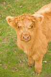 Portrait of a Highland calf. Royalty Free Stock Photography