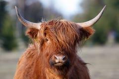 Portrait of highland cattle Stock Image