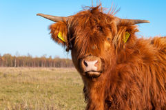 Portrait of a highland cow with long hair Royalty Free Stock Photo