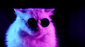 Portrait of highland straight cat with long hair and round glasses in neon light stock video footage
