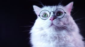 Portrait of highland straight fluffy cat with long hair and round glasses. stock video footage