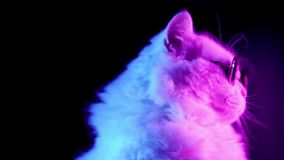 Portrait of highland straight cat with long hair and round glasses in neon light stock video
