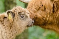 Portrait of a highlander calf cow and its mother Royalty Free Stock Photos