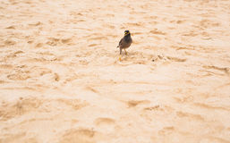 Portrait of a hill mynah bird, the most intelligent bird in world, Gracula religiosa Stock Images