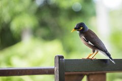 Portrait hill mynah, Gracula religiosa bird, the most intelligent birds in the world. Royalty Free Stock Photography