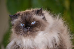 Portrait of a Himalayan cat. With intentionally blurred background stock image