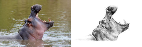 Portrait of hippo before and after drawn by hand in pencil. Originals, no tracing royalty free stock images