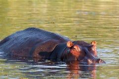 Portrait of Hippo Hippopotamus Hippopotamus Royalty Free Stock Photography