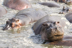 Portrait of a hippo in a pool Stock Photography