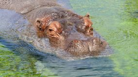 Portrait hippo in the water stock photography