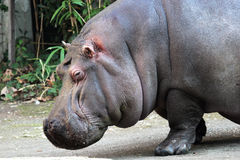 Portrait of a hippopotamus Stock Images