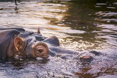 Portrait of a hippopotamus floating on the water.  Royalty Free Stock Image