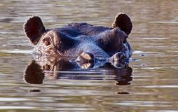 Portrait of a hippopotamus floating on the water. Hippopotamus Hippopotamus amphibius, from the ancient Greek `river horse` royalty free stock image