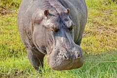 Portrait of a hippopotamus. Hippopotamus, from the ancient Greek `river horse`, is a large, mostly herbivorous mammal in Africa. Closeup stock photos