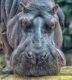 Portrait of a hippopotamus Royalty Free Stock Photos