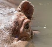 Portrait of a hippopotamus in water. In the park in nature Royalty Free Stock Photo