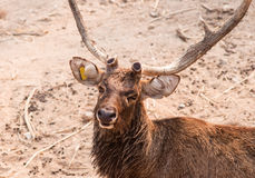 Portrait of hog deer male. Stock Photography
