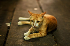 Homeless cat. Lying on the floor sadly Stock Photography