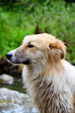 Portrait of a homeless wet dog outdoor Royalty Free Stock Image