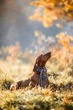 Portrait hongrois d'automne de Vizsla photographie stock