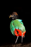 Portrait of  Hooded Pitta Stock Photo