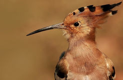 Portrait of a Hoopoe Stock Photography