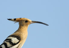 Portrait of Hoopoe Royalty Free Stock Images