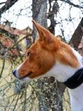 Portrait horizontal de chien de race de basenji Image libre de droits