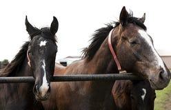 Portrait horizontal en gros plan de deux chevaux Photographie stock libre de droits