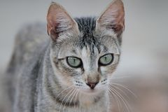 Portrait of a dun cat Royalty Free Stock Images