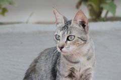 Portrait of a dun cat Royalty Free Stock Photo