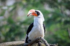 Portrait of hornbill on branch Royalty Free Stock Photos